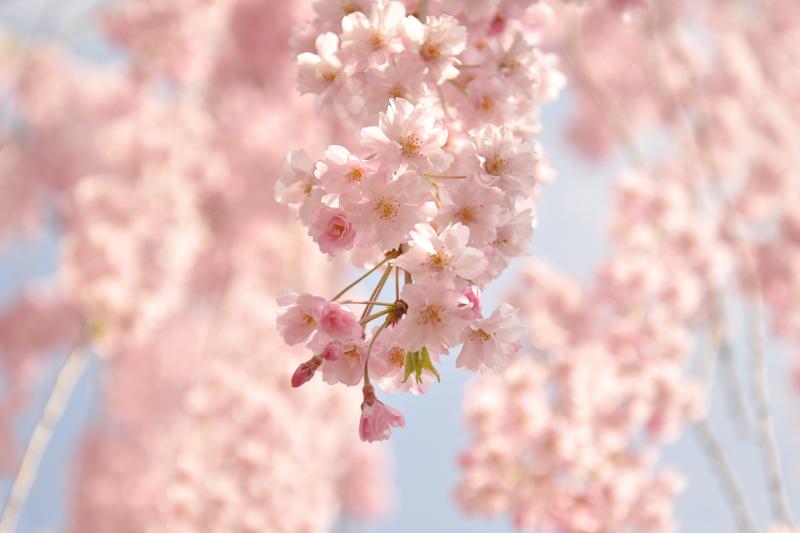 紅枝垂れ(ヤエベニシダレ) 今朝(5/1)の弘前公園・弘前城の様子