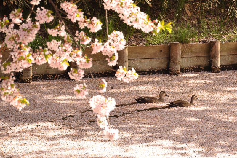 鳥たちも魅了する弘前の桜。桜の絨毯 今朝(5/1)の弘前公園・弘前城の様子