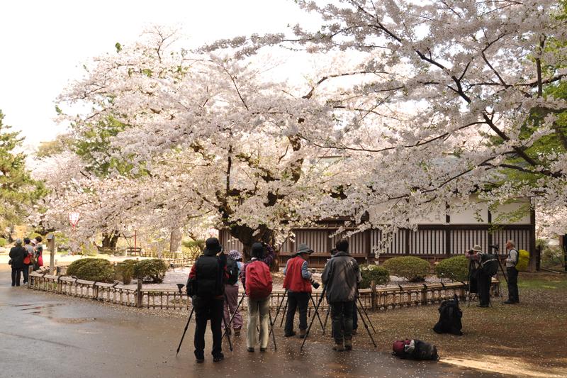 カメラマンさんが花吹雪を狙っていました 今朝(5/1)の弘前公園・弘前城の様子