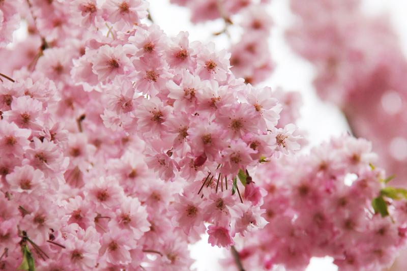 弘前公園内の枝垂れ桜は見ごろを迎えているようです