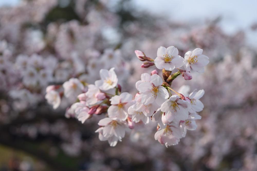 弘前公園・外堀 咲き始めた桜の様子