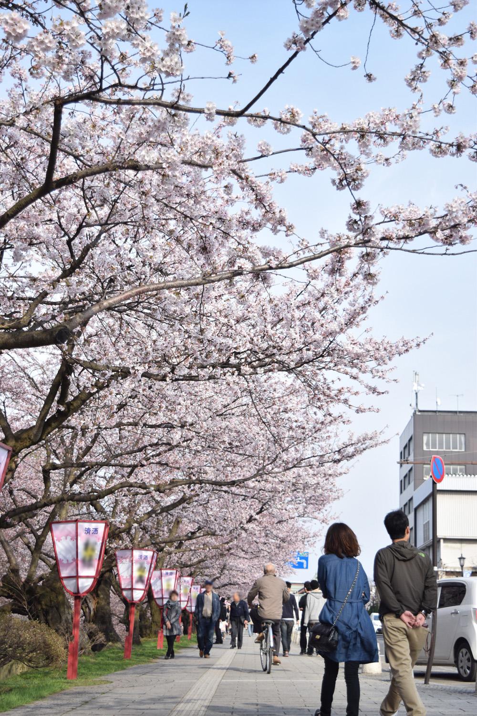 弘前城 外堀・桜の様子