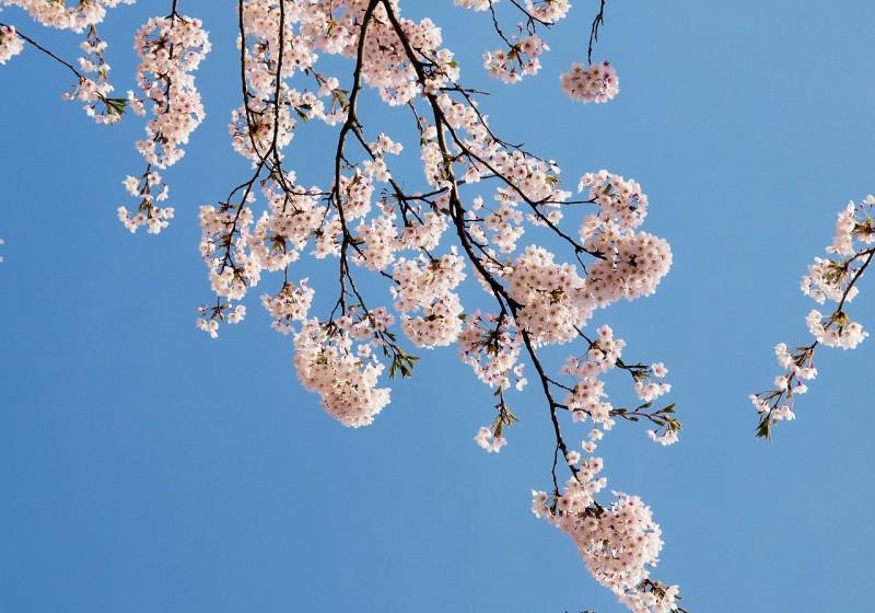 弘前公園 桜 開花予想