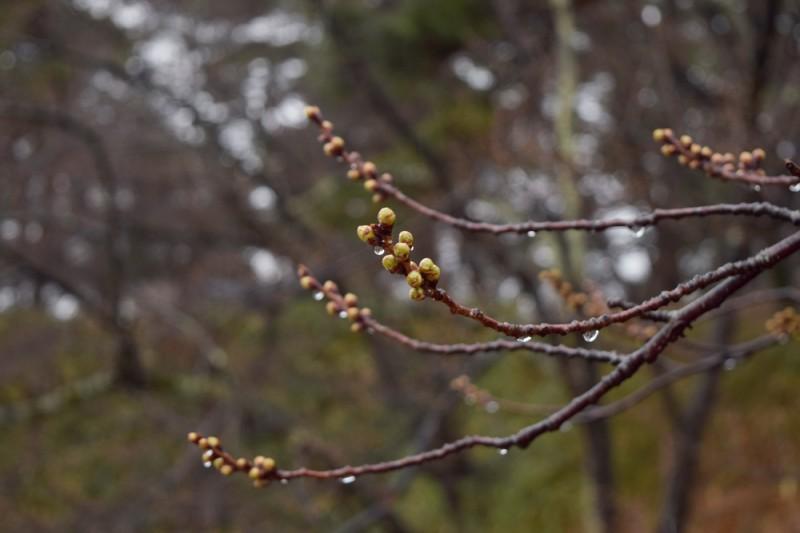 弘前公園 桜のつぼみ