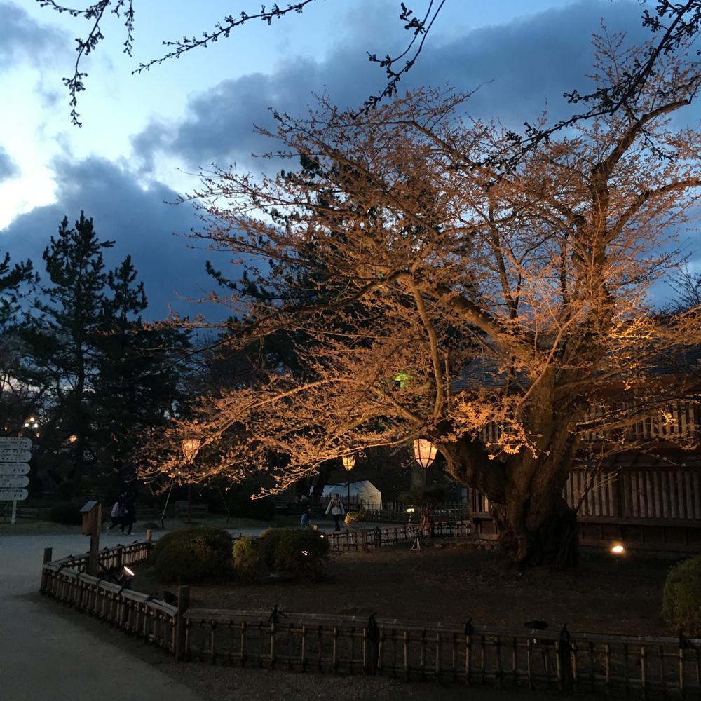 日本最古のソメイヨシノ(弘前さくらまつり)