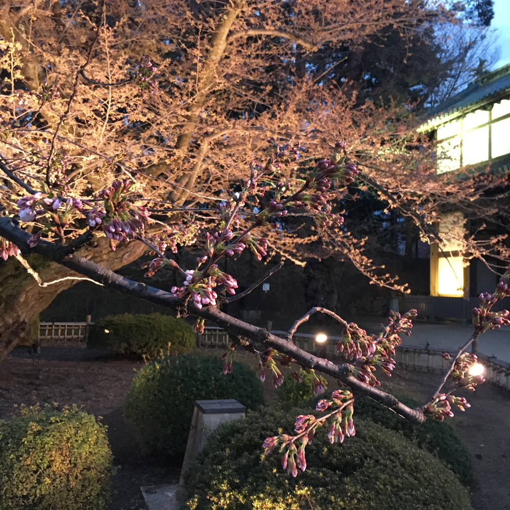 日本最古のソメイヨシノが本日開花