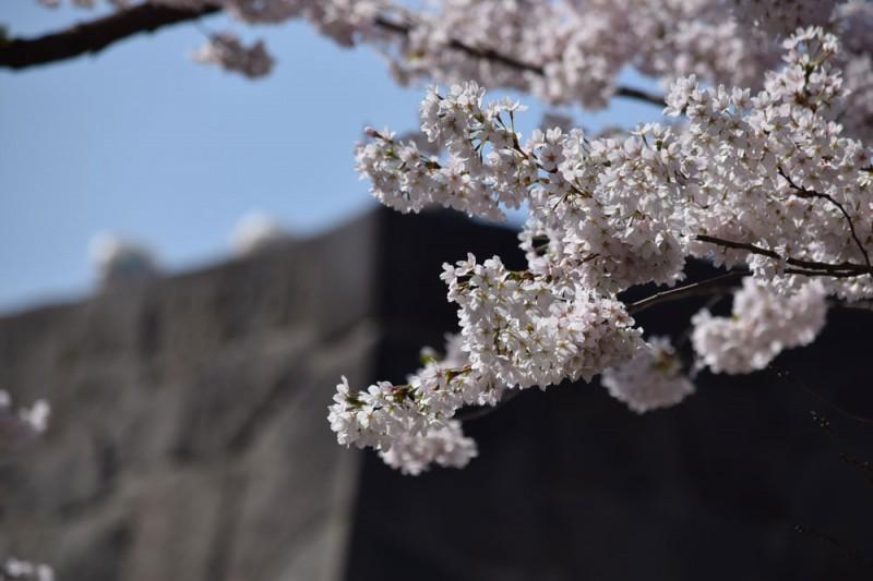 弘前公園 石垣と桜