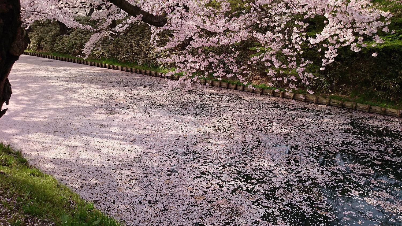弘前公園 外濠の花筏(はないかだ)