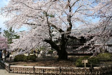 弘前公園最長寿のソメイヨシノ
