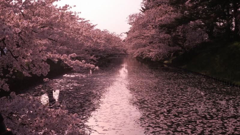 弘前公園の花筏が見ごろを迎えています【弘前さくらまつり】
