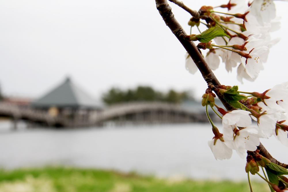 鶴の舞橋とさくら