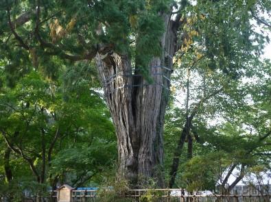 弘前公園のネズコ