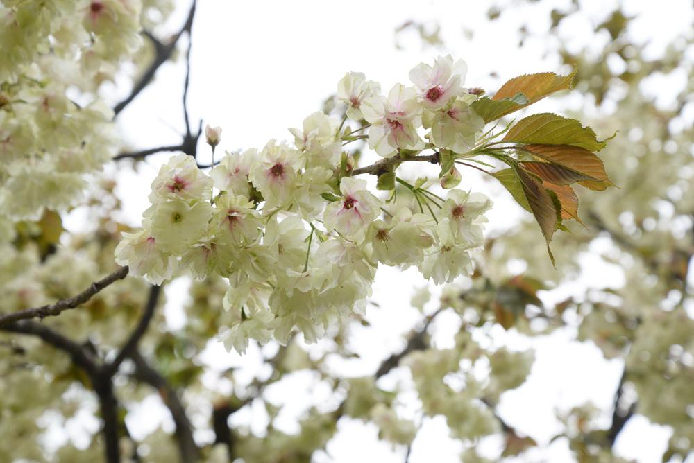 遅咲き桜 ウコン