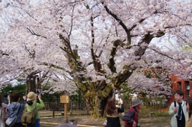 日本最大幹周のソメイヨシノ