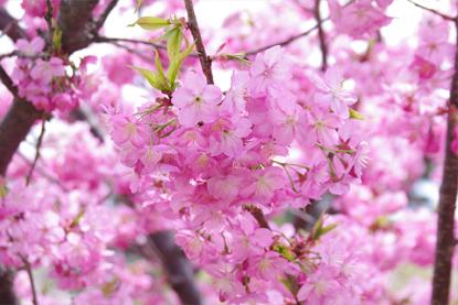 弘前公園内の緑の相談所にて桜の...