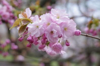 弘前公園内で見られる桜