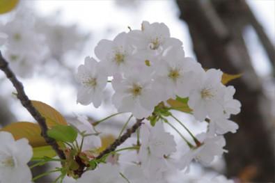 桜の剪定枝が無料配布