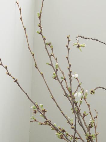 弘前公園・弘前城の桜の枝 花が咲きそうです