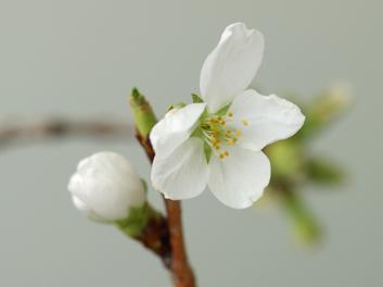 弘前公園・弘前城の桜の枝 花が咲きました