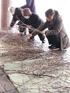 つぼみがたくさん付いた枝を探すスタッフ