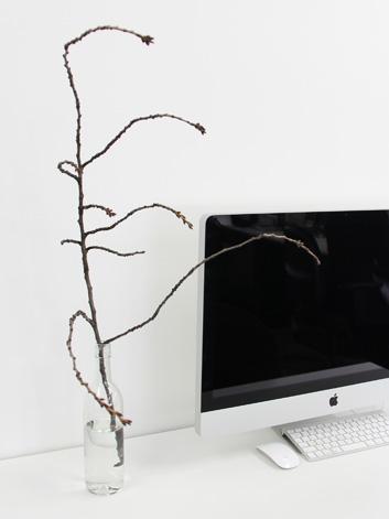 無料配布されていた弘前公園の桜を育てます!