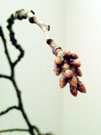 弘前公園の桜の枝、2013年3月15日