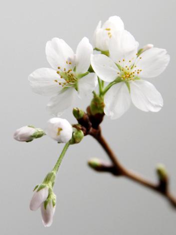 弘前公園・弘前城の桜の枝 満開になりそうです