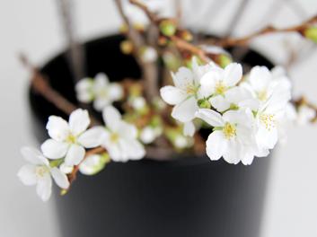 弘前公園・弘前城の桜の枝 「春」を感じさせる光景