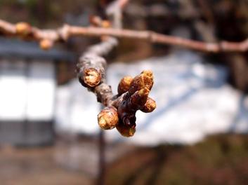 弘前公園・弘前城の東内門付近の桜の枝 桜開花状況