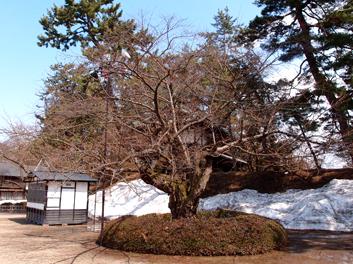 2013年4月11日の弘前公園・弘前城の東内門付近の様子 桜開花状況