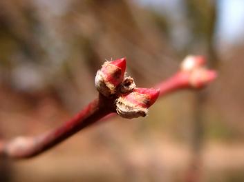 弘前公園・弘前城の様子 桜開花状況