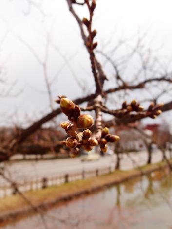 弘前公園・弘前城の外堀の桜のつぼみ 桜開花状況