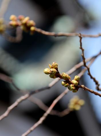 弘前城の桜の枝 桜開花状況