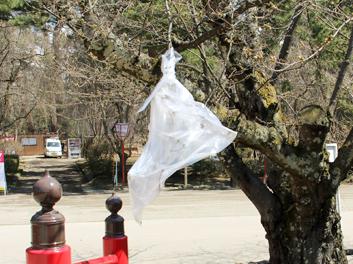 2013年4月22日の弘前城 ビニール袋で覆い保温している弘前公園のソメイヨシノ 桜開花状況