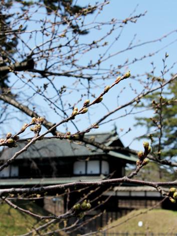 2013年4月22日の弘前城 大手門近くの外堀のさくら開花状況