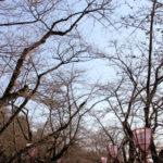 弘前さくらまつり2013_4月28日_09