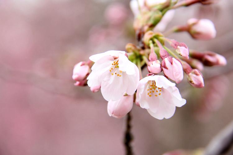 2014年弘前さくらまつり 弘前城 弘前公園 桜の開花予想 ウェザーニュース