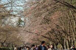 2013年5月4日付 弘前公園の桜の開花状況・満開予想発表