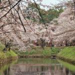 2013年5月6日(月)弘前さくらまつり14日目の様子(開花状況)