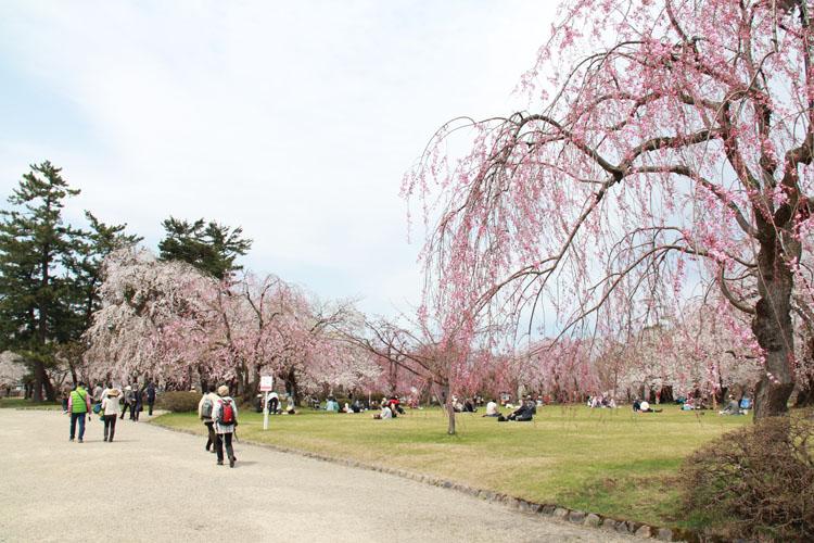 弘前公園(弘前城)のお花見の様子。県外からもたくさんの観光客が弘前の桜を見に来る
