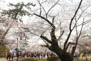 2013年弘前さくらまつり 日本最古のソメイヨシノ