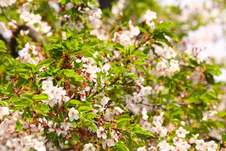 文化センター前の桜