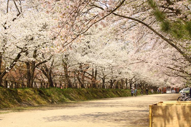 内門入ってすぐの桜