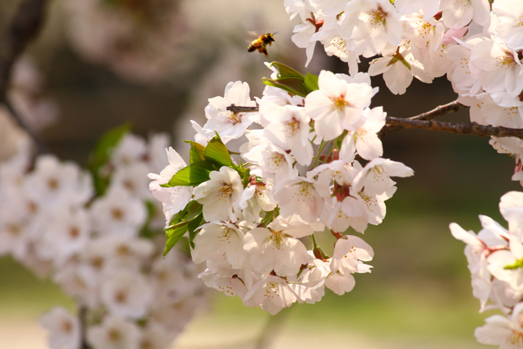 2013年5月10日弘前公園内の桜。弘前城内をぐるりと歩いてみませんか