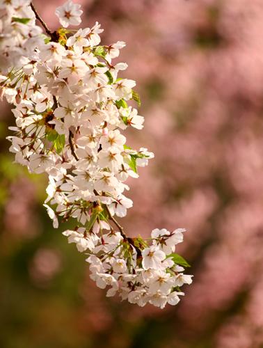 ボタン園に咲く桜