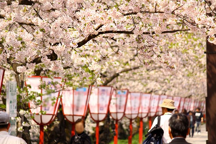 弘前さくらまつりの様子。弘前城(弘前公園)での桜まつりをぜひお楽しみください
