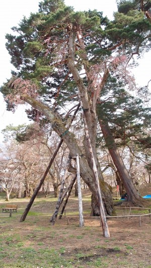 NHKプロフェッショナル仕事の流儀 弘前公園 雪の重みで倒れた大枝垂れ桜