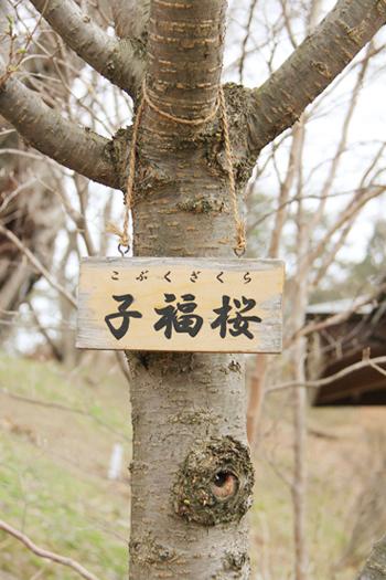 弘前城 子福桜(コブクザクラ)の木