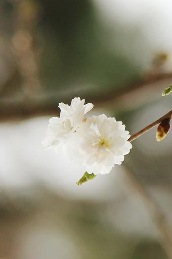 弘前公園 子福桜(コブクザクラ)の花が咲き始めました