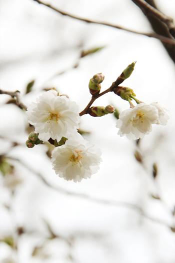 弘前公城 子福桜(コブクザクラ)の花が咲き始めました